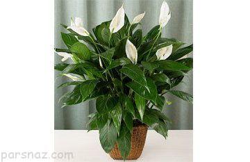 معرفی مفیدترین گیاهان آپارتمانی سلامتی بخش