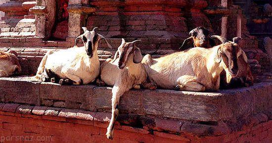 حیواناتی که به جای خدا پرستش شده اند