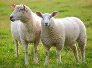 داستان آموزنده و خواندنی گوسفند صدقه ای