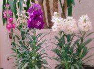 آموزش تصویری نگهداری گل شب بو + تکثیر گل شب بو و انواع گل شب بو