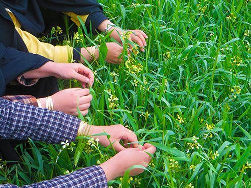 چرا در روز سیزده بدر (روز طبیعت) سبزه را گره میزنند | فلسفه گره زدن سبزه در ۱۳ بدر