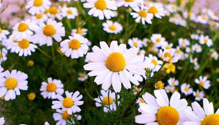معجزه بابونه برای زیبایی و درخشندگی پوست   زیبایی پوست گیاه پوست