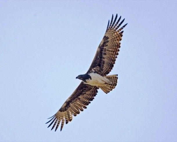 برترین پرندگان شکاری | جنگنده های آسمان + عکس پرندگان
