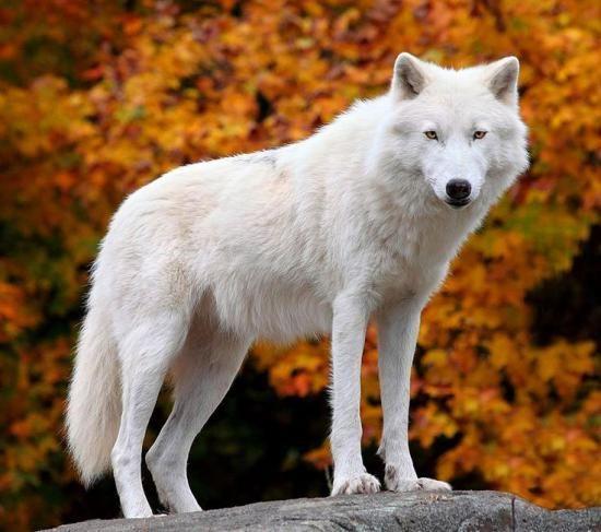 حقایقی جالب و جذاب درباره گرگ ها و قوانین شان +عکس های زیبا از گرگ