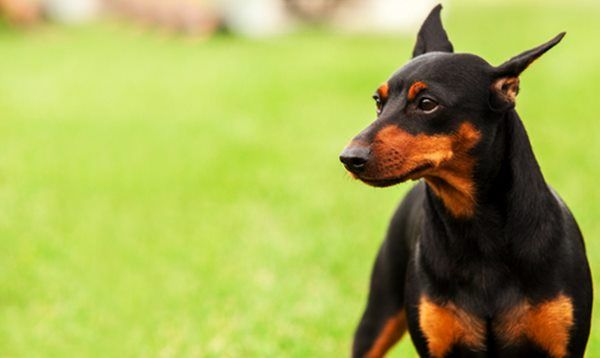 بهترین نژادهای سگ نگهبان کدام هستند + عکس و توضیحات نژادهای مختلف سگ