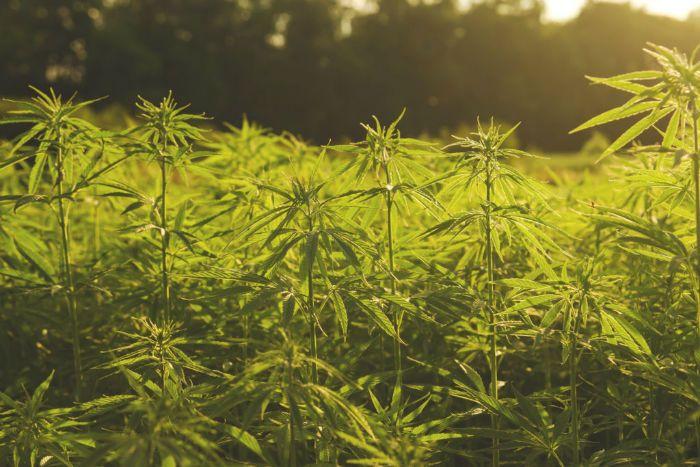 تاثیرات ماده مخدر گل بر روی بدن + دانستنی درباره گل (ماری جوانا)