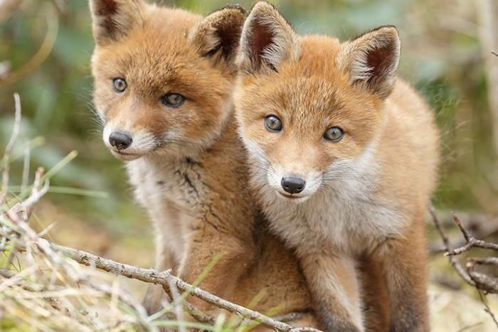 تعبیر خواب روباه | دیدن روباه در خواب چه معنایی دارد؟