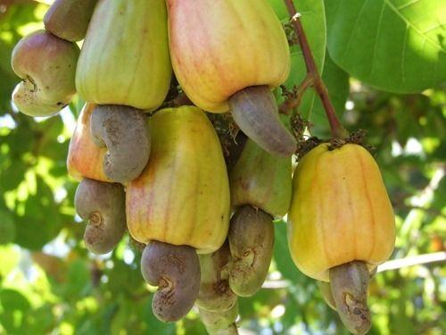 تمام خواص بادام هندی برای بدن و سلامتی