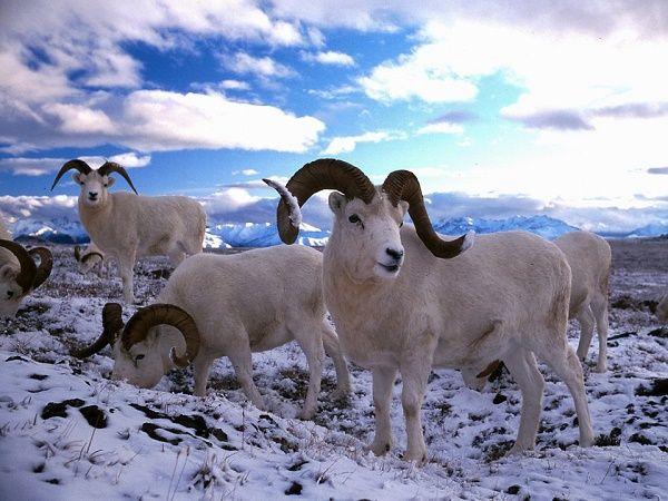 دانستنی های جالب در مورد حیوانات قطب شمال + عکس