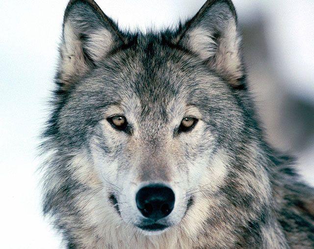 تعبیر خواب گرگ | دیدن گرگ در خواب چه معنایی دارد؟