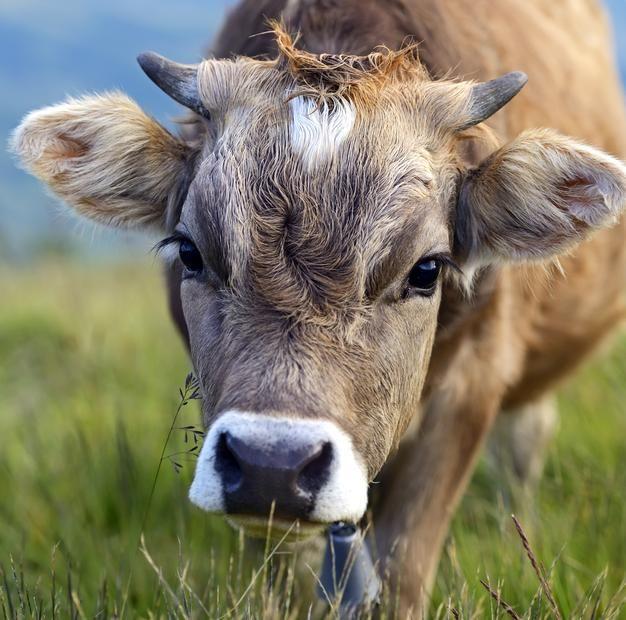 تعبیر خواب گاو | دیدن گاو در خواب چه معنایی دارد؟