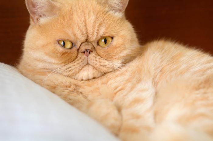 معرفی جذاب ترین نژادهای گربه خانگی | از پرشین تا هیمالین