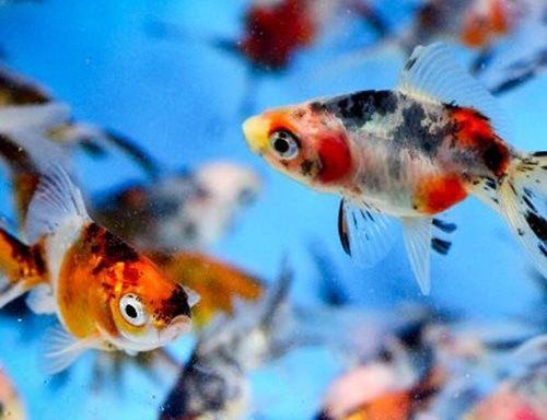 تعبیر خواب ماهی قرمز | دیدن خواب ماهی قرمز چه معنایی دارد؟