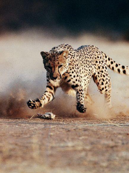 رکورد شکنی حیوانات   از سرعت یوزپلنگ تا قدرت سوسک کرگدنی