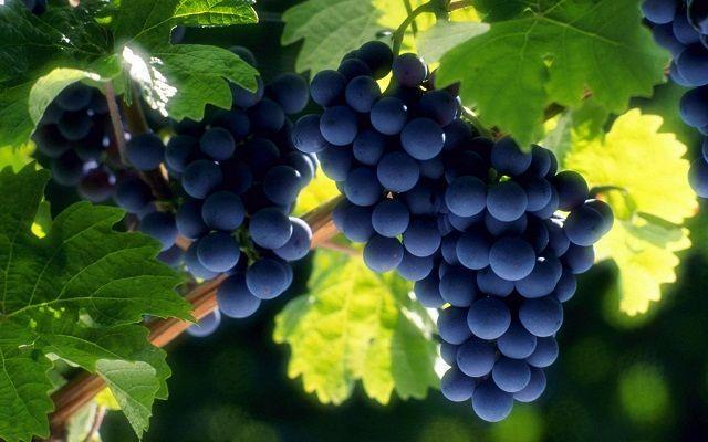 تعبیر خواب انگور | دیدن انگور در خواب چه تعابیری دارد؟
