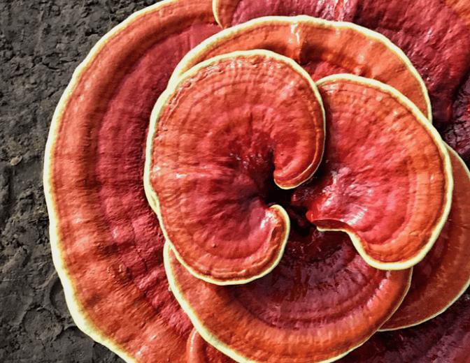 خواص قارچ گانودرما (جان افزا) | هرآنچه درمورد قارچ گانودرما باید بدانید