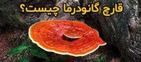 قارچ گانودرما (جان افزا) چیست و چه فوایدی دارد؟