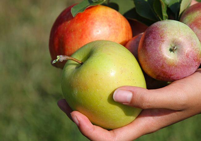 تعبیر خواب سیب   دیدن سیب و درخت سیب در خواب چه تعابیری دارد؟