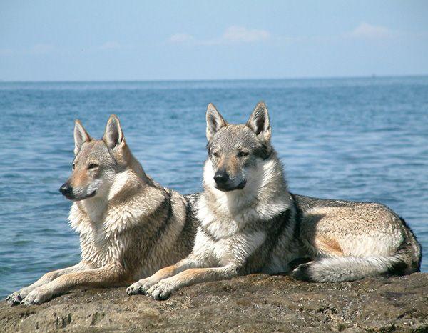 10 محبوب ترین سگ های دورگه   با نژاد جدید سگ ها آشنا شوید!
