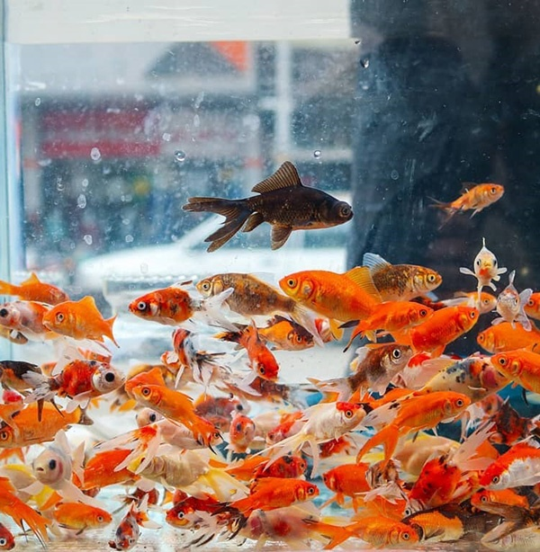 عکس پروفایل ماهی قرمز عید نوروز  + نکات جالبی در مورد ماهی قرمزها