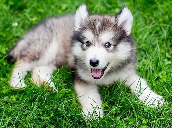 سگ هاسکی بررسی حرفه ای ( ویژگی ها و معایب نژاد سگ هاسکی )