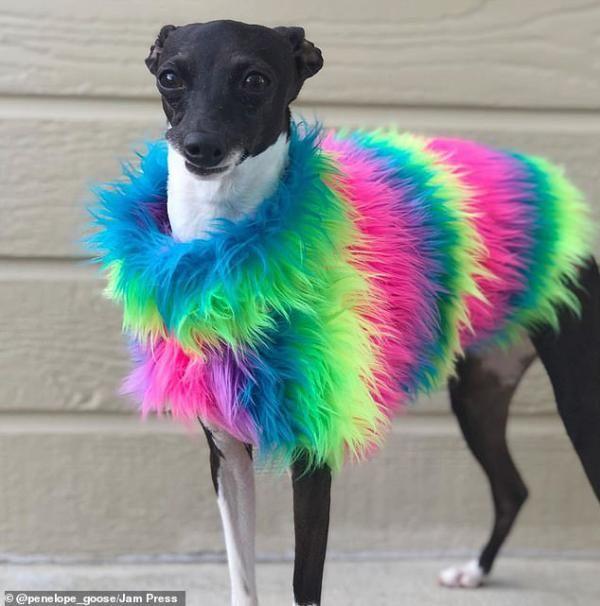 با بامزه ترین سگ دنیا آشنا شوید! Penelope The Goose