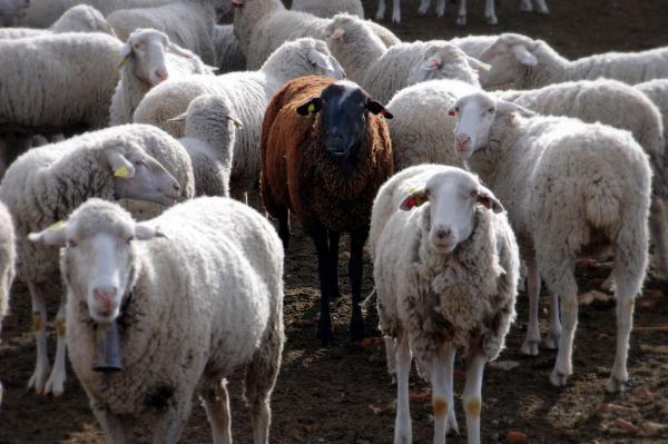 تعبیر خواب گوسفند و بره   دیدن گوسفند در خواب چع تعابیری دارد؟