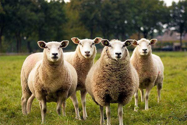 تعبیر خواب گوسفند | دیدن گوسفند در خواب چه معنایی دارد؟