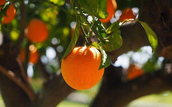 تعبیر خواب پرتغال و نارنگی | دیدن پرتغال در خواب چه تعابیری دارد؟
