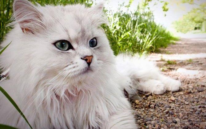 یک ملاقات خودمانی با گربه پرشین