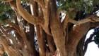 قدیمی ترین درخت جهان در ایران است + عکس