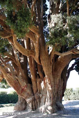 نمایش پست :قدیمی ترین درخت جهان در ایران است + عکس