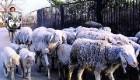 روش خنده دار یک چوپان برای کنترل گوسفندانش !