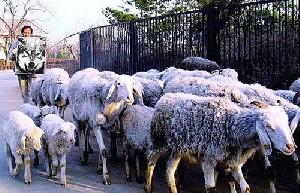 نمایش پست :روش خنده دار یک چوپان برای کنترل گوسفندانش !