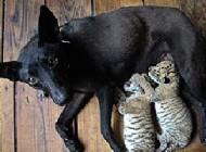 سگی که در چین پرستار شد + عکس