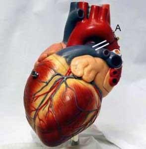 نمایش پست :یک روش عجیب برای محافظت از قلب !!