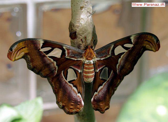 بزرگ ترین پروانه جهان