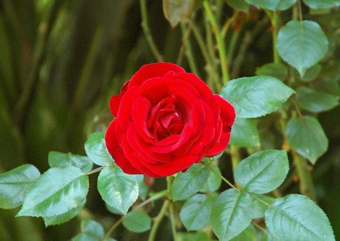 عکس گلهای رز رنگارنگ بسیار زیبا