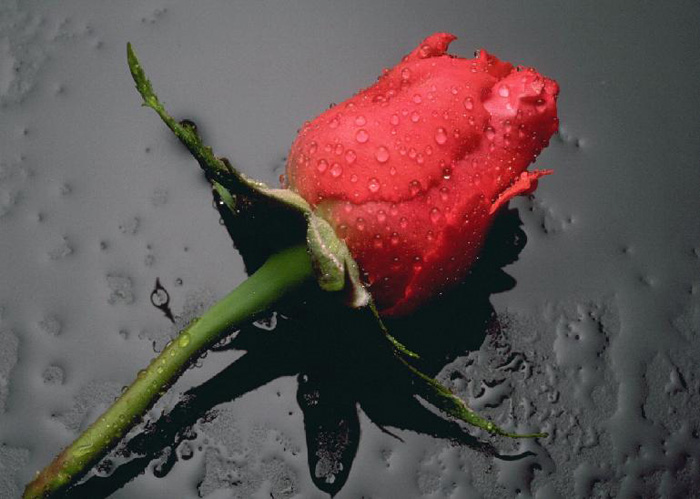 گل | عکس گل های زیبا
