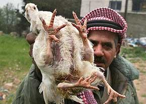 مرغ عجیب دنیا با چهار دست و پا + تصویر
