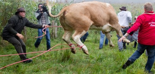 فرار باور نکردنی یک گاو از دست قصاب ها+عکس