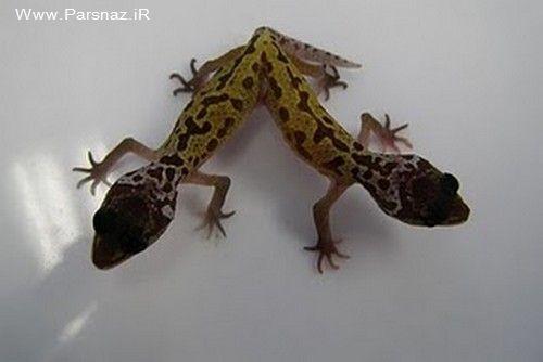 www.parsnaz.ir - عکس های عجیب از انسان و حیوانات به هم چسبیده