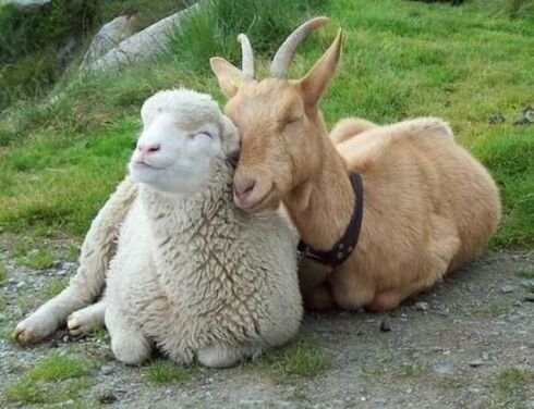 www.parsnaz.ir - عکسهای زوج های خنده دار و نا متعارف بین حیوانات