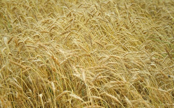 تصاویرجالب از مزارع گندم
