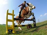 دختری شجاع که با گاو از موانع می پرد + عکس