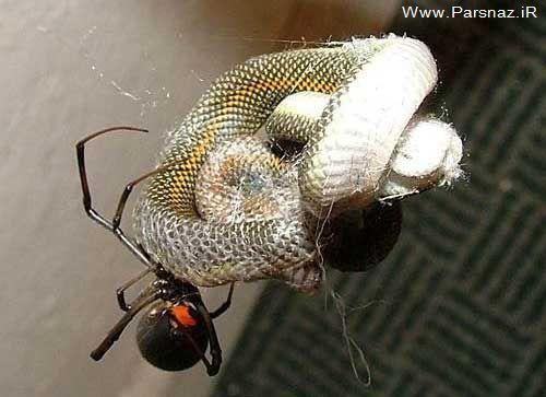 شکار عجیب و باورنکردنی یک مار بزرگ توسط عنكبوت + عکس
