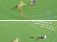عکسهای دیدنی و باور نکردنی نجات یک موش توسط قورباغه