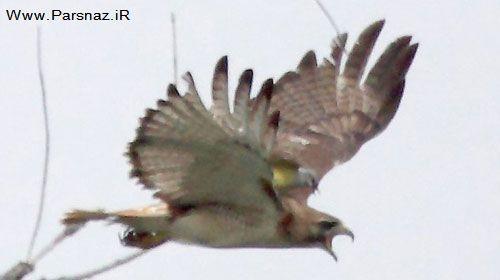 شجاعت باورنکردنی یک پرنده در آمریکا + عکس