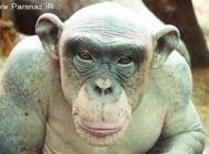 کشف یک میمون عجیب و کچل در نیجریه خبر ساز شد +عکس