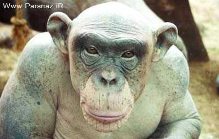 www.parsnaz.ir - کشف یک میمون عجیب و کچل در نیجریه خبر ساز شد +عکس